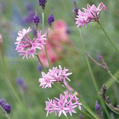 Tulbaghia violacea (Society garlic) **