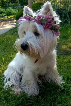 Female Westie...my Loves I need one more before i die !!!