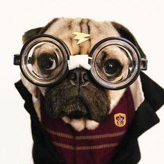 Doug la star des chiens déguisés pour Halloween doug la star des chiens deguises pour halloween cosplay harry potter