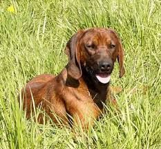 Image result for tyrolean hound