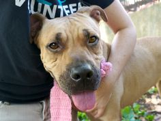SHELLY BELLY FKA SHELBY - A1120672 - - Manhattan  TO BE DESTROYED 08/16/17  A staff member writes: Every now and then I come across a dog who's history is unclear, but the past is the past right? Shelly Belly is all about living in the moment yet optimistic about the future. She plops her head on my lap when I coax her over, looks up at me with her brown doe eyes, and lets out a sigh. A sigh of relief perhaps… the sun is shining on her beautiful tan coat, and th