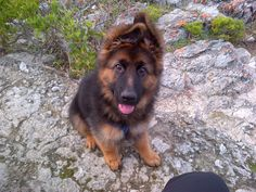 Floppy-eared German Shepherd