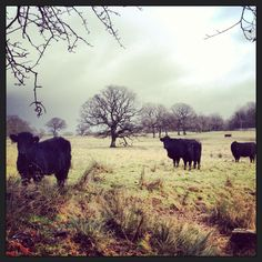Welsh black cows, Cardiff