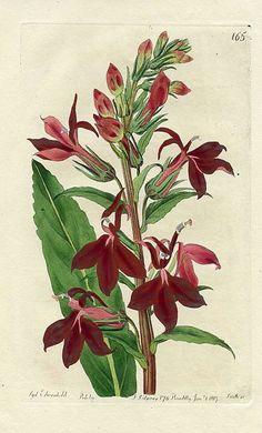 Sydenham Edwards Refulgent Lobelia 1817