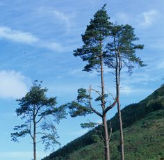 Is the Scots Pine (Pinus sylvestris) your favourite Scottish plant? Vote now on www.rbge.org.uk/big5