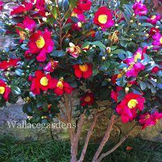 Camellia sasanqua 'Yuletide' (fall bloomer, tree form)