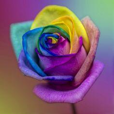 #Rainbow #Rose #print #poster #photography