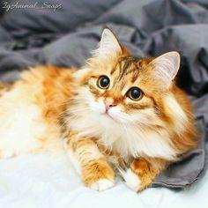 . Photo by: @fluffy_the_siberian . Congratulations and... Follow us on Instagram :D #cats #cat #catlover #lovecats #funny #fun #cute #socute #feline #felines #felinefriend #fur #furry #paw #paws #kitten #kitty #kittens #kittycat #kittylove #fluffy #fluff