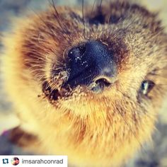 SMILE! It's the weekend  and doesn't this quokka know it?! This awesome picture was snapped by @imsarahconrad  and I'm in love with it. .................... Submit your  @sceneinperth  #sceneinperth #westernaustralia #rottnestisland #rottnest #perth #thisiswa #seeaustralia #travel #rottnest #cute #sceneinperth #seeperth #perthlife #summer #summerinperth #perthsummer #indianocean #fremantle #hillarys #westcoast #sunsetcoast #sun #smile #happy #cute #animallovers #wa #australia #weekend…