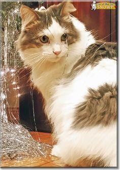 Snowy the Cat