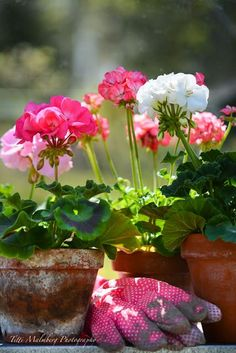 There's nothing like a geranium in a clay pot! #containergardens