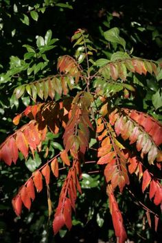 Winged sumac, left, and red maple are among the native plants showing beautiful fall colors this season.