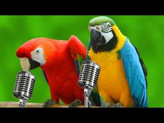 Funny Parrots Singing Compilation! (BEST FUNNY ANIMAL COMPILATION) - YouTube