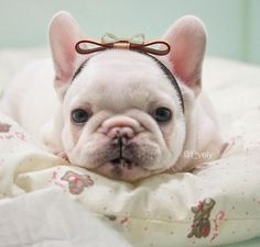 The many things we all adore about the Bright French Bulldog Puppy French Bulldog Pictures, French Bulldog Blue, French Bulldog Puppies, French Bulldogs, Puppies And Kitties, Cute Puppies, Cute Dogs, Doggies, Baby Animals
