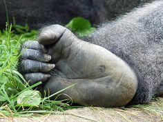 Gorilla Foot by abcode, via Flickr 2011