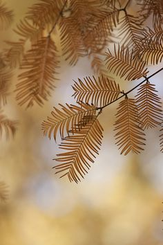 leaves of metasequoia