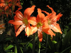 Every garden should enjoy the Day Lily