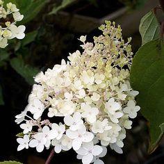 Syrenhortensia 'Grandiflora'