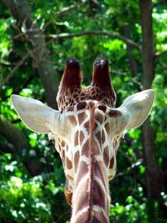 I Love Giraffsss - Weight: males—up to 3000 -  females—up to 1500 pounds