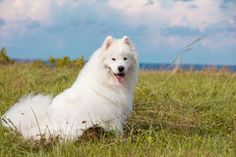 Samoyed puppy Stock Image
