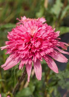 Coneflower 'Mini Belle' (Echinacea x hybrida)