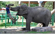 Lucy the elephant, who turned 37 on July 1, picked a shady spot for her demonstration as she effortlessly lifts Zookeeper Wayne woods in her enclosure at the Valley Zoo on Wednesday, July 11, 2012. #zoo #elephants
