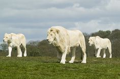 white lion pictures | White Lions, South Africa