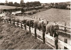 """Clonmel railway station, Co.Tipperary 1956 - The 12 Chipperfield elephants leave the station with Doreen Duggan leading Mary elephant. John L Chipperfield is mid-way down the line and Dick Chipperfield bringing up the rear. The show went to Ireland with 15 elephants and sold Jimmy, Blackie and Monica (two males and a female) to Fossett's Circus. Later, eight of these twelve would go with Hugo Schmidt to Ringlings in America."" //Jim Stockley"