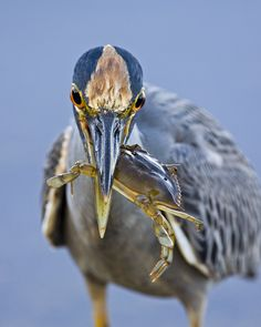 Ding Darling wildlife refuge; yellow-crowned night heron