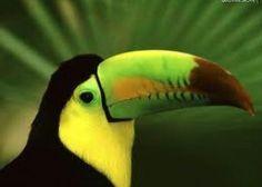 Tucano de bico verde espécie mais comum do Brasil meridional. Mede 45 cm. Plumagem negra com peito superior amarelo, região ventral vermelho-ferrugíneo, face amarela com região oftálmica circundada por pele vermelha. Íris verde....