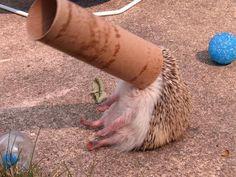 Stuck Baby Hedgehog
