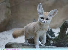 Is there really any creature cuter than a fennec?