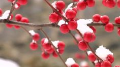 holly berries in snow - Google Search