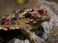 Texas Horned Lizard's blood shooting defense adaptation - apparently their blood tastes gross so to protect themselves they shoot blood out of their eye to give potential predators a taste making them disinterested in consuming the lizard