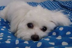 Our little Maltese dog Nelly!! <3