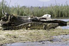 Mvuu Lodge - Krokodil