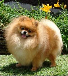reminds me of my Scarlie Girl - so sweet - Pomeranian!! #Pomeranian
