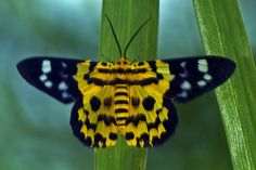Dysphania militaris   Makunda Insects-47