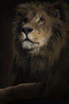 ♂ Masculine Lion king, Animal, Black