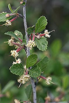 Cercocarpus montanus - Mountain-Mahogany - Rose Family (Roseaceae) - Summer - Colorado Wildflower