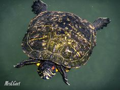 * Just a swimming turtle *
