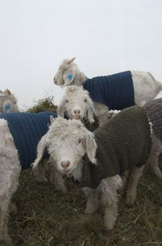 Just some cold little goats wearing sweaters