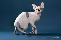 Randazzleme Promise Me This  --- #Sphynx  ----TICA's Best Kitten 2013