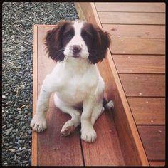 Springer spaniel puppy