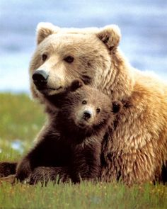 Grizzly Bear Momma & Baby