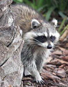Rocky Raccoon by redbug #animals #animal #pet #pets #animales #animallovers #photooftheday #amazing #picoftheday