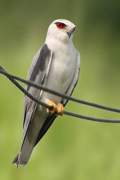 Black-winged Kite, small bird of prey with wide distribution; Eurasia, Africa, No & So America.