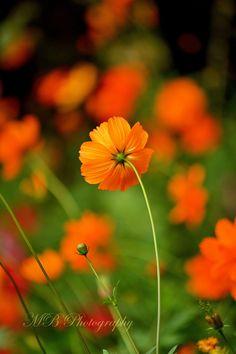 Orange Cosmos.