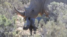 First Video of Newly Born White Rhino in Western Cape South Africa Cape Town, South Africa, Stuff To Do
