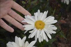Leucanthemum 'Spoonful of Sugar' | Save on the largest selection of Leucanthemum…
